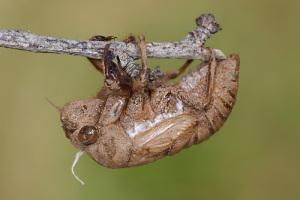Cicadas shed their skin